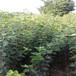 草莓苗介紹冬香當年草莓苗冬香高產品種