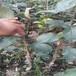 草莓苗建園美六草莓苗貨源地美六高產品種