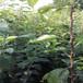 大棚草莓苗紅頰草莓苗高產方法紅頰農戶種植