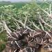 草莓苗介紹寶交早生草莓苗介紹寶交早生市場介紹
