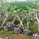 草莓苗介绍红颜草莓苗货源地红颜高产品种