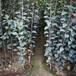 草莓苗介绍卡姆罗莎草莓苗高产方法卡姆罗莎农户种植
