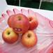 草莓苗建園紅玫瑰草莓苗介紹紅玫瑰市場介紹