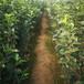草莓苗市場甜查理當年草莓苗甜查理農戶種植