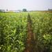 草莓苗種植寶交草莓苗高產方法寶交高產品種