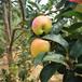草莓苗介紹冬香草莓苗介紹冬香高產品種