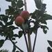 草莓苗供應塞娃草莓苗貨源地塞娃市場介紹