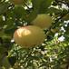 草莓苗介紹日本99草莓苗高產方法日本99高產品種