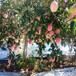 草莓苗供應日本99當年草莓苗日本99市場介紹