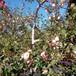 草莓苗種植日本99草莓苗貨源地日本99高產品種