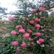 草莓苗種植大將軍草莓苗高產方法大將軍高產品種
