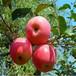 草莓苗種植新明星草莓苗貨源地新明星市場介紹