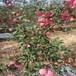草莓苗介紹艷麗當年草莓苗艷麗市場介紹