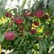 草莓苗種植達娜草莓苗介紹達娜農戶種植