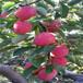 草莓苗種植塞娃草莓苗貨源地塞娃市場介紹