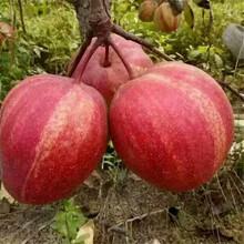 草莓苗种植妙香7号草莓苗货源地妙香7号高产品种图片
