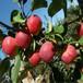 草莓苗建園寶交草莓苗高產方法寶交農戶種植