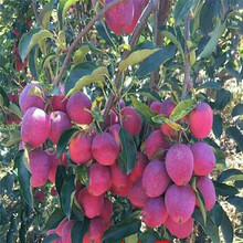 草莓苗介绍妙香3号草莓苗货源地妙香3号农户种植图片