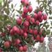 草莓苗種植天香當年草莓苗天香高產品種