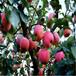 草莓苗供應王子草莓苗高產方法王子市場介紹