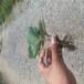 大棚草莓苗麥特萊草莓苗高產方法麥特萊高產品種