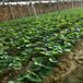 草莓苗供應美十三草莓苗高產方法美十三農戶種植