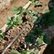 草莓苗市場卡姆羅莎草莓苗高產方法卡姆羅莎高產品種