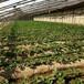 草莓苗介紹麥特萊草莓苗貨源地麥特萊農戶種植