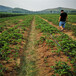 草莓苗供應甜寶當年草莓苗甜寶農戶種植