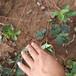 草莓苗供應哈尼草莓苗貨源地哈尼高產品種