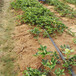 草莓苗市場幸香草莓苗高產方法幸香市場介紹
