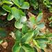 草莓苗種植紅花草莓苗貨源地紅花農戶種植