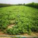 草莓苗種植妙香3號草莓苗貨源地妙香3號高產品種