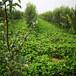草莓苗建园冬香草莓苗货源地冬香市场介绍