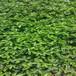 大棚草莓苗菠蘿莓草莓苗貨源地菠蘿莓農戶種植