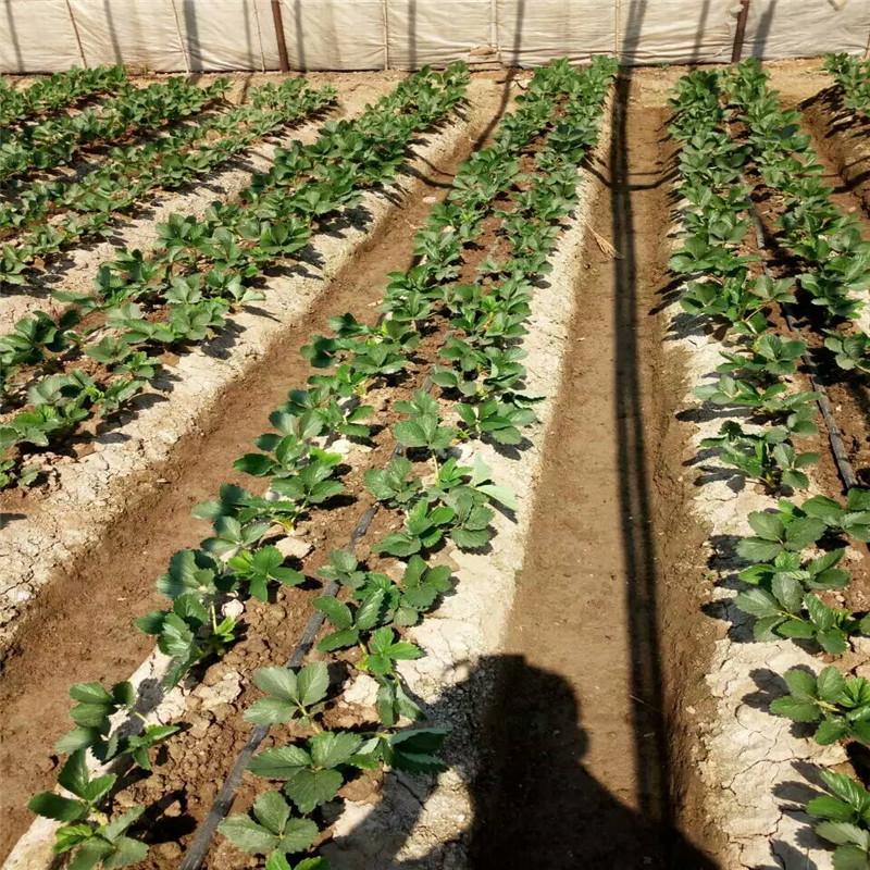 草莓苗供应安娜草莓苗高产方法安娜高凤凰联盟登录种