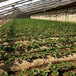 草莓苗供應天香草莓苗貨源地天香市場介紹