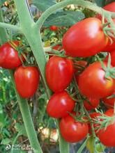 元謀大量精品圣女果、西紅柿、黃瓜供應圖片
