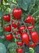 大量供應西紅柿、圣女果、刺黃瓜、辣椒
