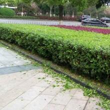 塘厦镇绿化养护价格图片
