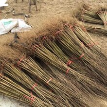 软籽石榴树苗种植基地图片