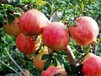 河南省鞏義市夏蟬自然農場---突尼斯軟籽石榴、冬桃、大櫻桃