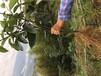 柳州布福娜黑老虎種植