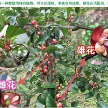 長沙布福娜種植圖片
