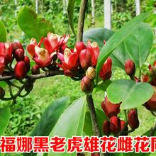 廣州布福娜黑老虎種植圖片