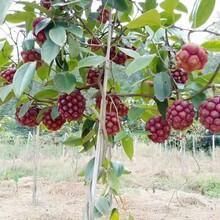 福州布福娜黑老虎果樹圖片