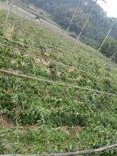 九江布福娜黑老虎水果圖片