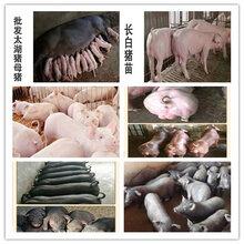 育肥豬苗-高產母豬-蘇太母豬