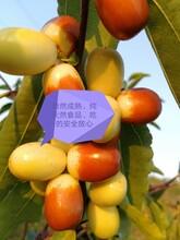 廣州酥脆棗種苗批發圖片