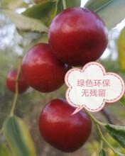 廣州有機酥脆棗圖片